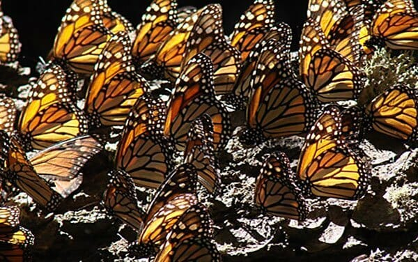 Monarch butterflies: hurricanes are to be avoided