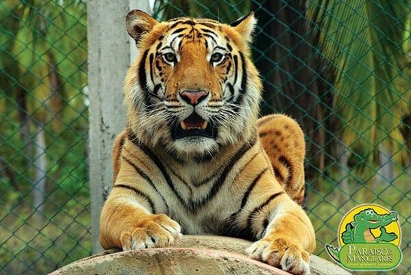 Tiger on the loose in Guerrero