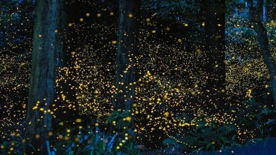 Fireflies light up the forest in Tlaxcala.