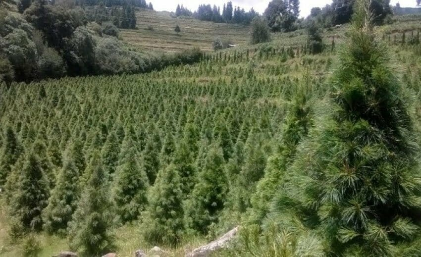 Christmas trees growing in Tlaxcala.