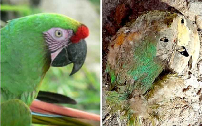 An actual macaw and the mummified one found in Chihuahua.