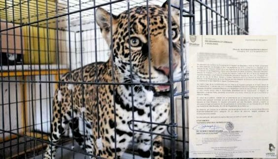 The jaguar that attacked a Chihuahua construction worker.