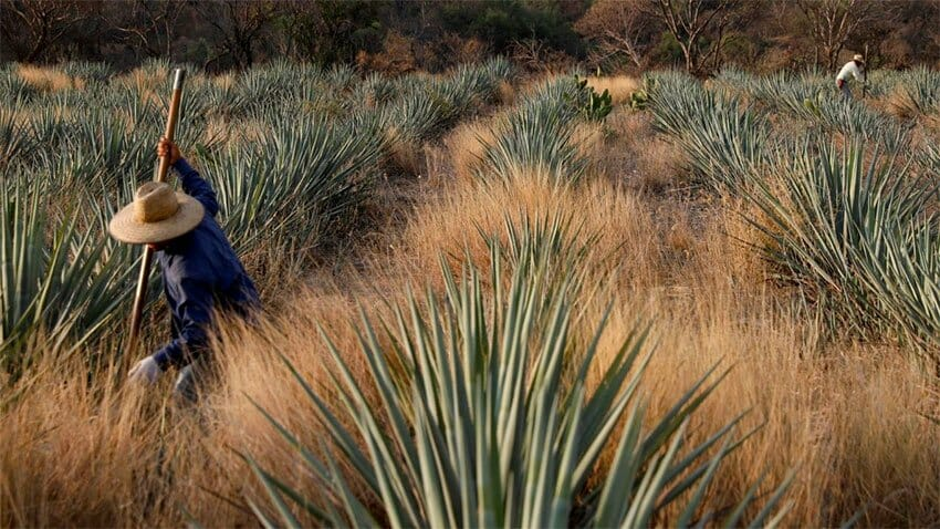Agave is getting more costly.