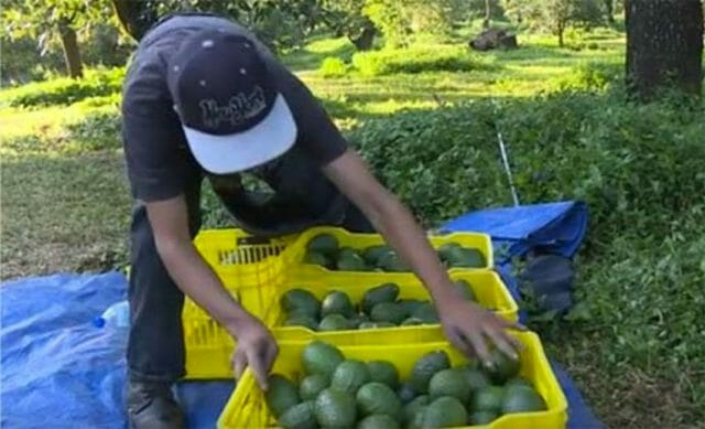 Harvesting the green gold in Michoacán.