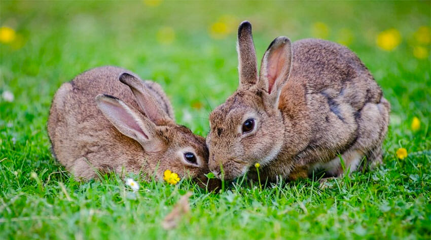 Rabbits have their own virus problems.