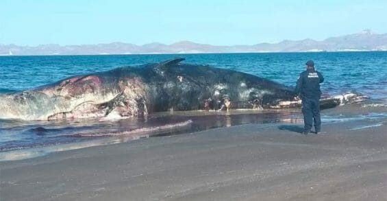 The decomposing whale on El Mogote Beach.