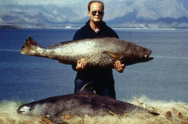 A totoaba, above, and a vaquita.