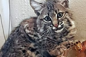 This lynx, rescued from a rancho, will be returned to nature next month.