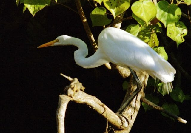 A great egret waits motionlessly for its prey to pass by.