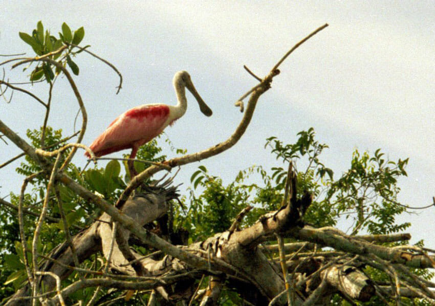 8—–b-Roseate-spoonbill-in-contemplation