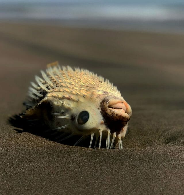 A toxic pufferfish lying on the beach. Its open mouth shows the plates that substitute for teeth.