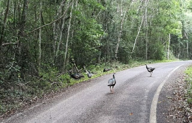 The site is 60 kilometers from Highway 186, through the jungles and much wildlife, notably ocellated turkeys.