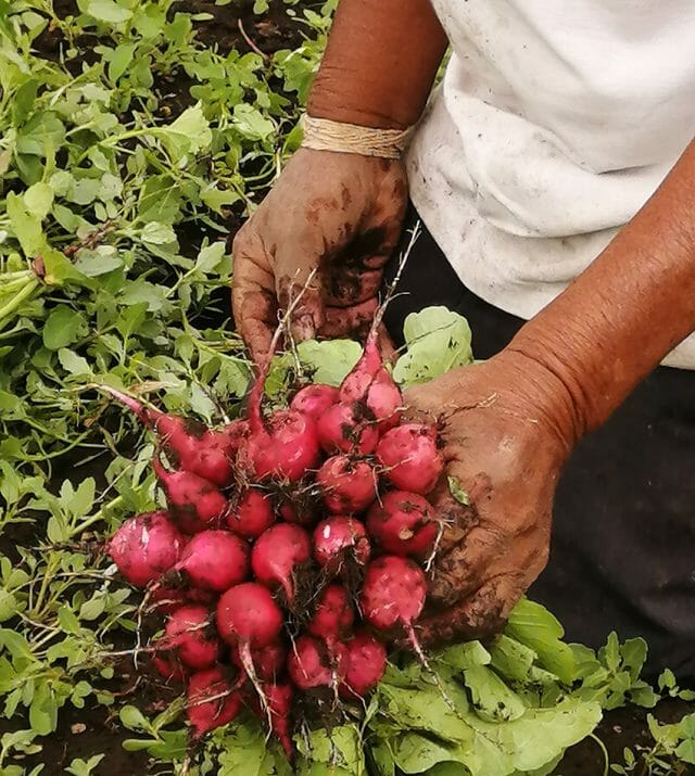 Pompilio Guerra with a crop of radishes grown using scientist Refugio Rodriguez's compost