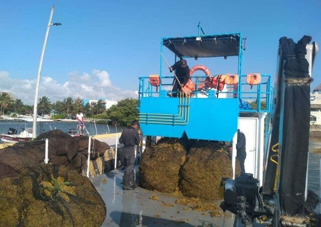 Hauling away collected sargassum in nets.