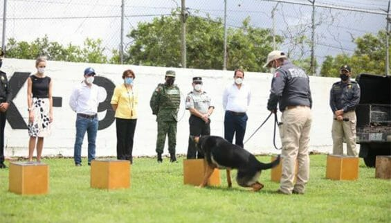 One of the Covid-sniffing dogs gives a demonstration in Yucatán.
