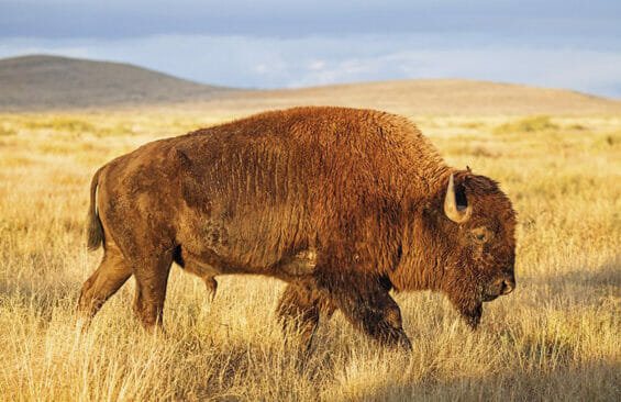 Bison at the Janos Biosphere Reserve, Chihuahua