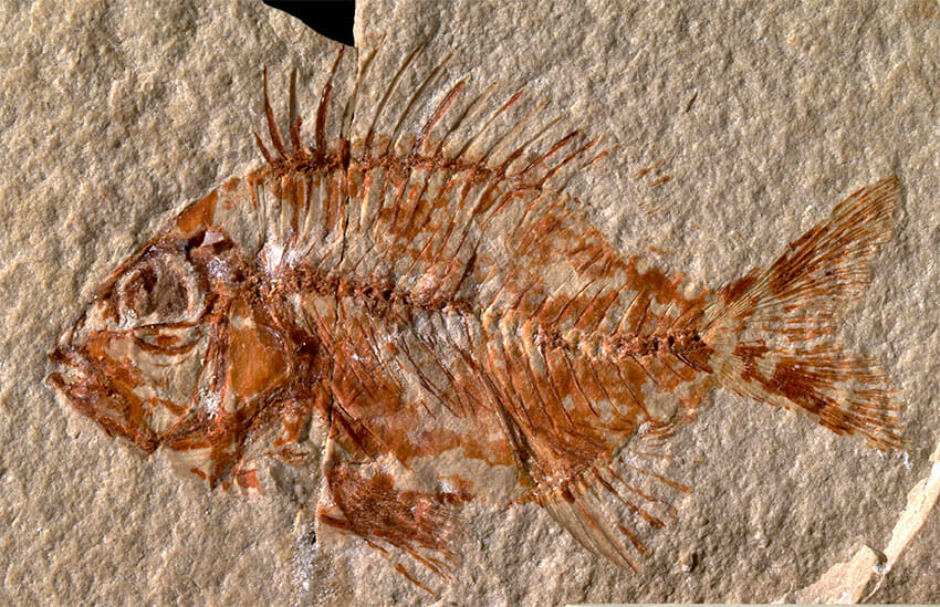 The fossil found in Chiapas has been identified as a new species of fish.