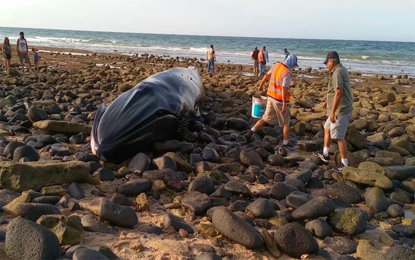 The whale spent about four hours on the beach before the tide came in.