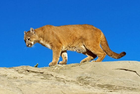 The cougar is one of five wild cat species found in Oaxaca.