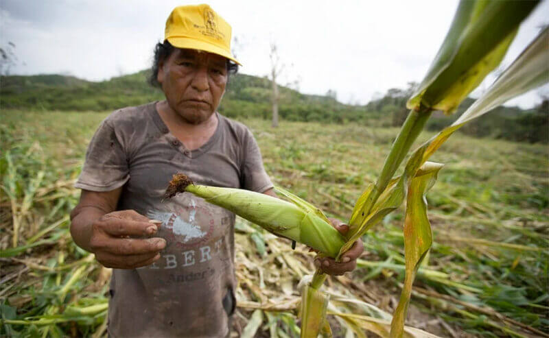 There's nothing left of Tomás Velázquez's corn field.