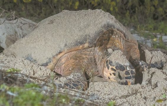The Club de la Tortuga conservation group protects 18 kilometers of beach in Telchac Puerto.