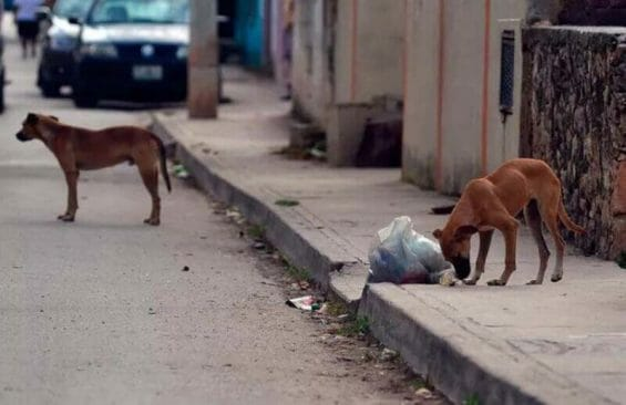 Stray dogs on the streets of Merida