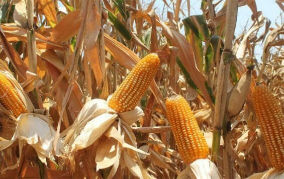Mexico has never allowed the commercial cultivation of GM corn but it has permitted their importation for years, mainly for livestock feed.