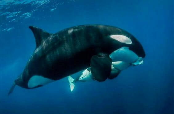 Orca and its offspring feed on dolphin meat in the waters off Los Cabos.
