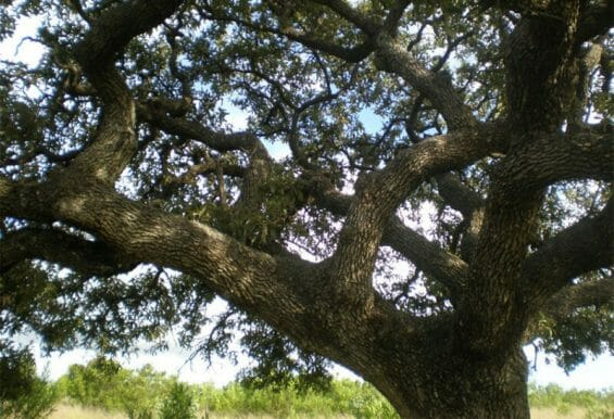 The netleaf oak, or encino in Spanish, is one of Mexico's many native trees.